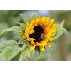 Sonnenblume (1001)