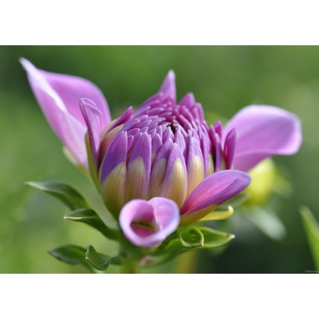 Blume (1018)