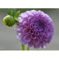 Blume (1020)